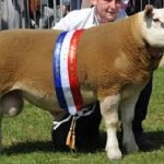 sheep with sash